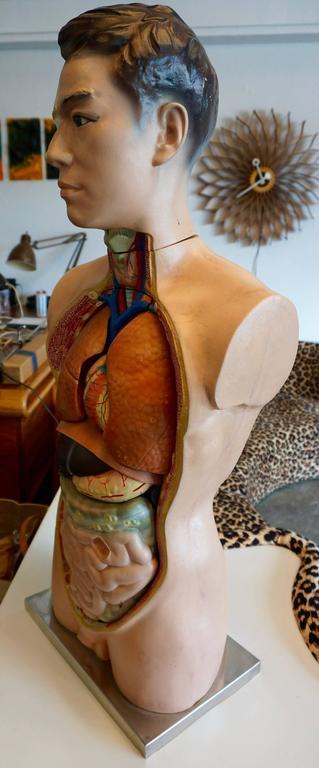 Male Anatomical Torso 7