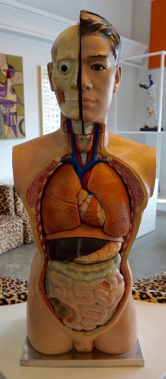 Male Anatomical Torso 8