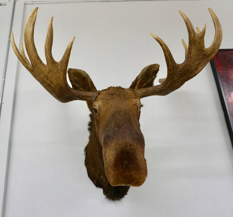 This is a fantastic Alaskan Moose taxidermy shoulder mount, posed with the head in a up position and looking straight out into the room. Great set of antlers, the hide itself is in really nice condition as well, and features thick hair. Expert