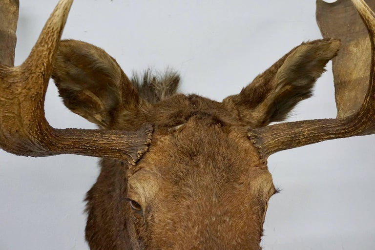 Canadian Bullwinkle! Taxidermied Moose Head and Antlers For Sale
