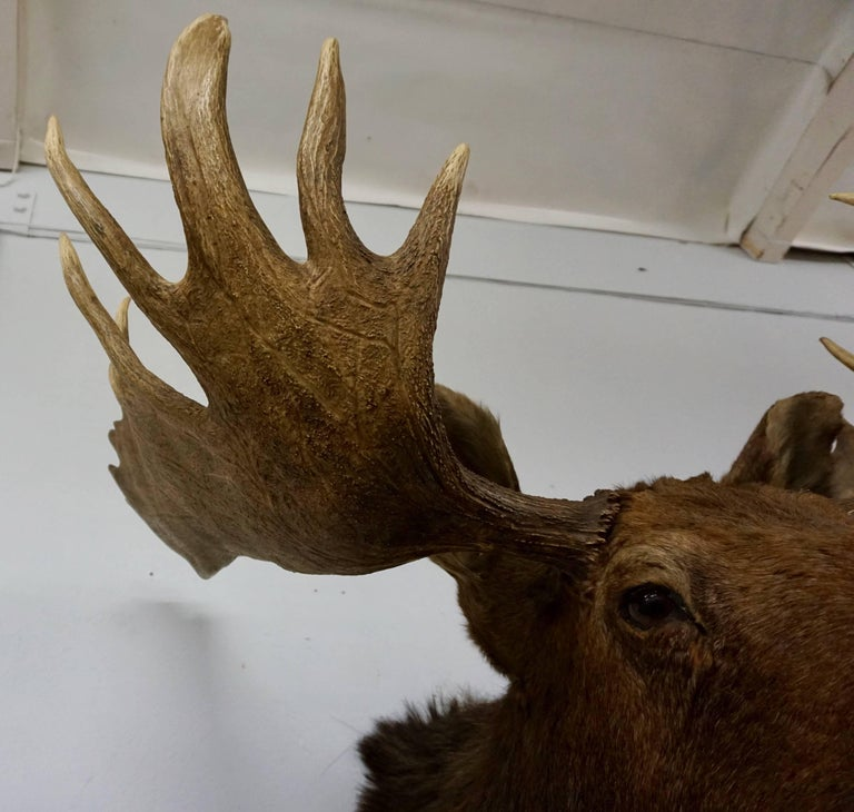 Bullwinkle! Taxidermied Moose Head and Antlers In Excellent Condition For Sale In Cathedral City, CA