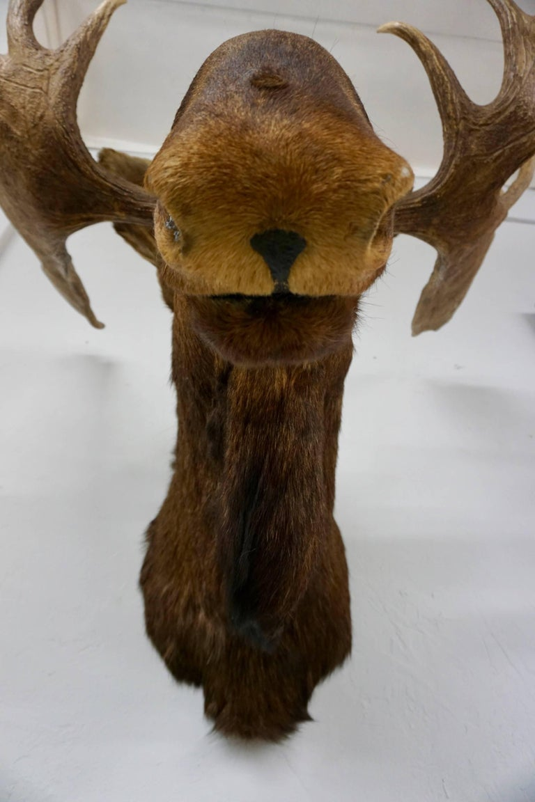Late 20th Century Bullwinkle! Taxidermied Moose Head and Antlers For Sale