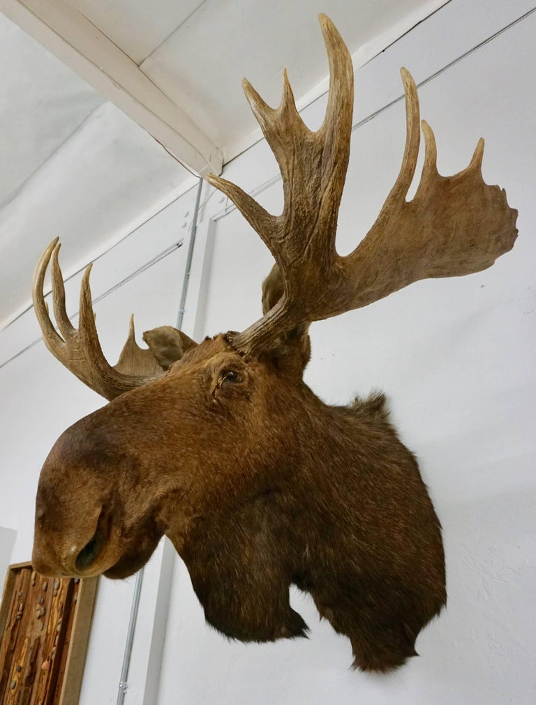Bullwinkle! Taxidermied Moose Head and Antlers For Sale 1
