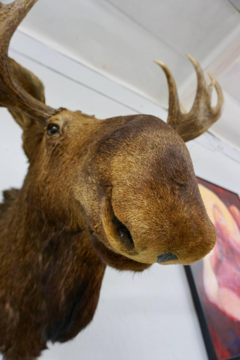 Bullwinkle! Taxidermied Moose Head and Antlers For Sale 2