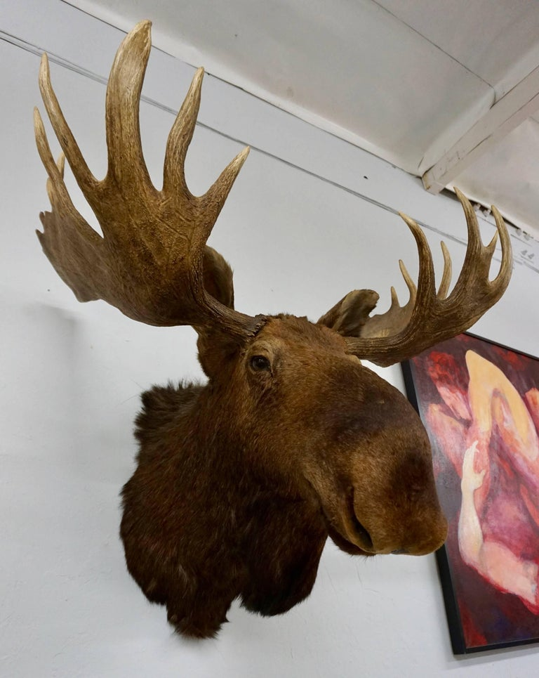Bullwinkle! Taxidermied Moose Head and Antlers For Sale 3