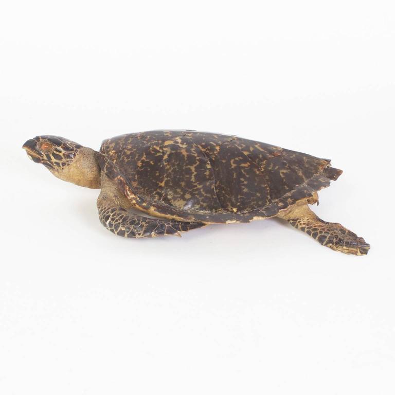 Organic Modern Large Hawksbill Turtle Taxidermy For Sale