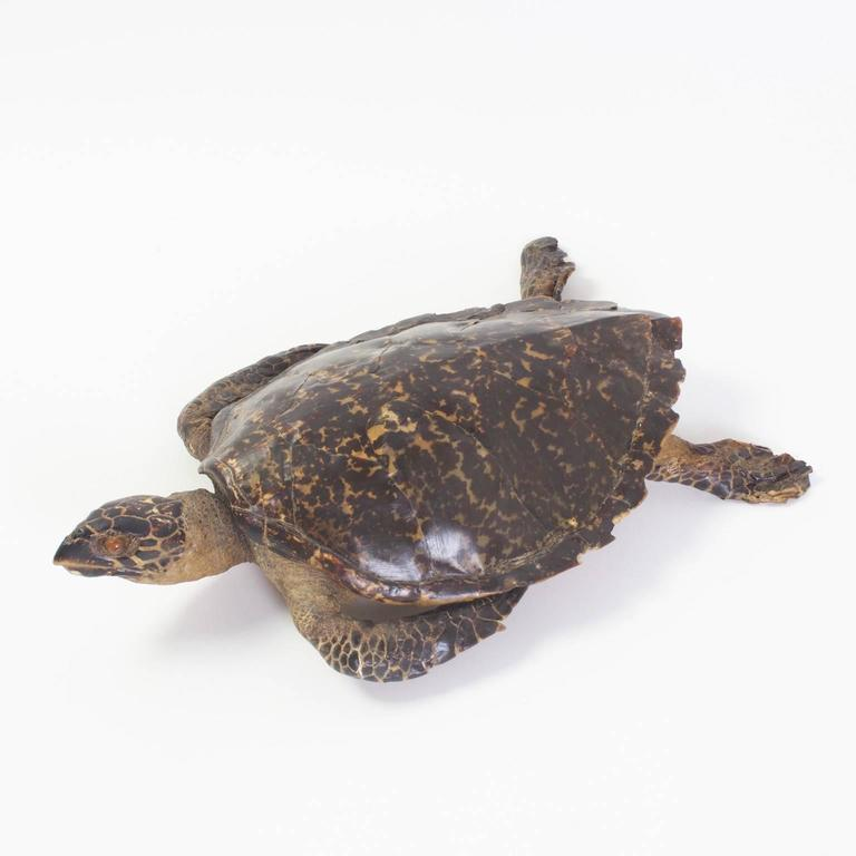 Taxidermy hawksbill sea turtle that has acquired a handsome, mellow aged patina. Few things in this world have been cherished as much as the beauty of a turtle shell. This specimen is a fine example of the genius of Mother Nature.