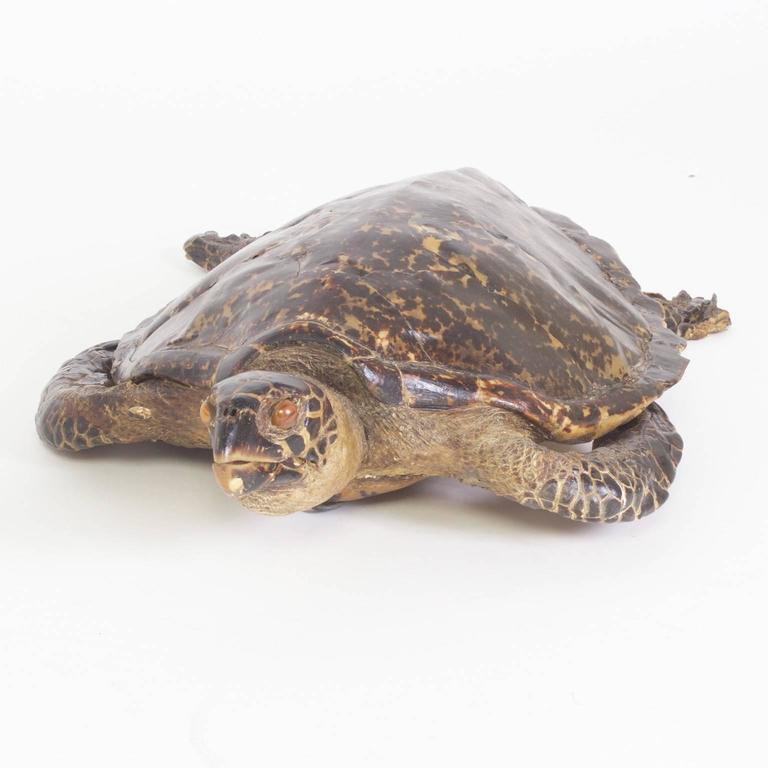 American Large Hawksbill Turtle Taxidermy For Sale
