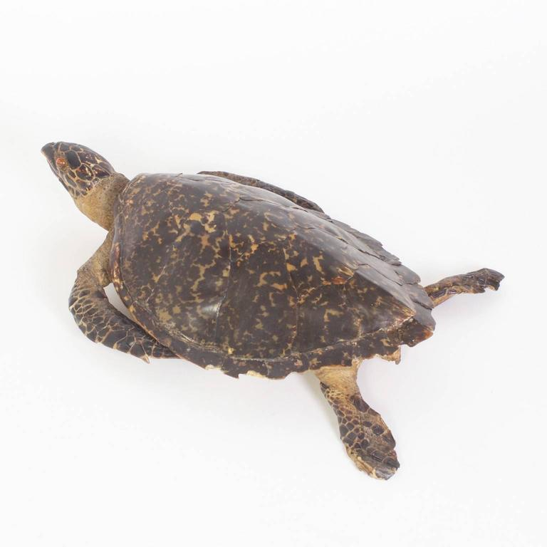 Large Hawksbill Turtle Taxidermy In Excellent Condition For Sale In Palm Beach, FL