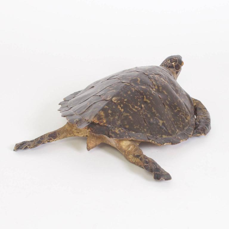 20th Century Large Hawksbill Turtle Taxidermy For Sale