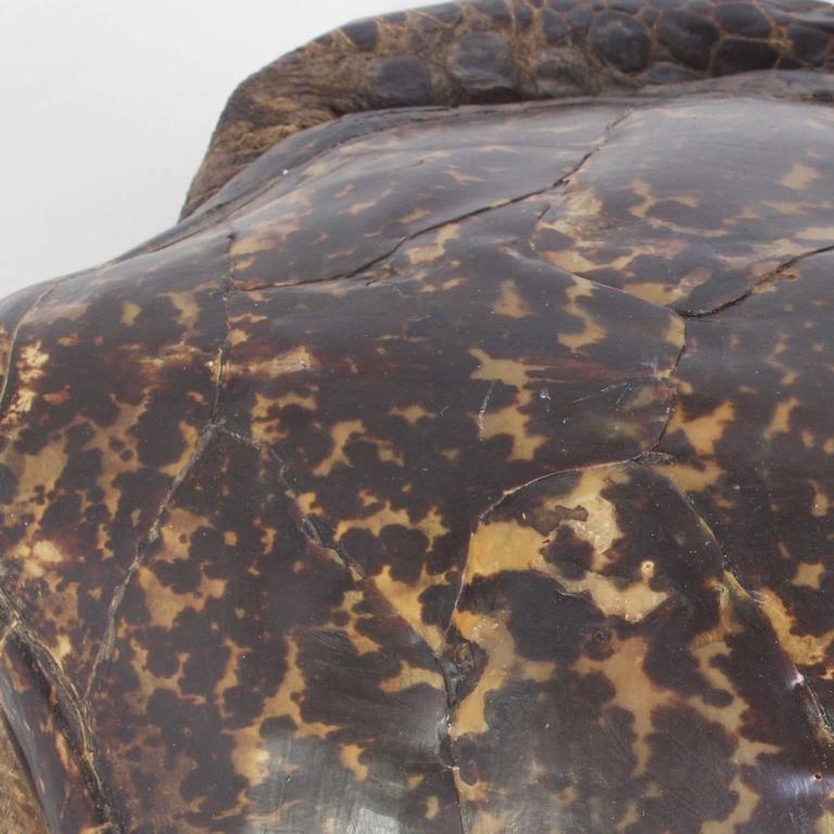 Large Hawksbill Turtle Taxidermy For Sale 1