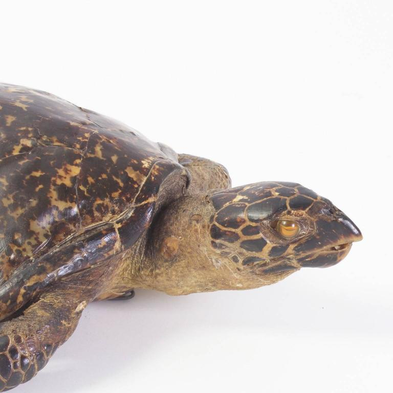Large Hawksbill Turtle Taxidermy For Sale 2
