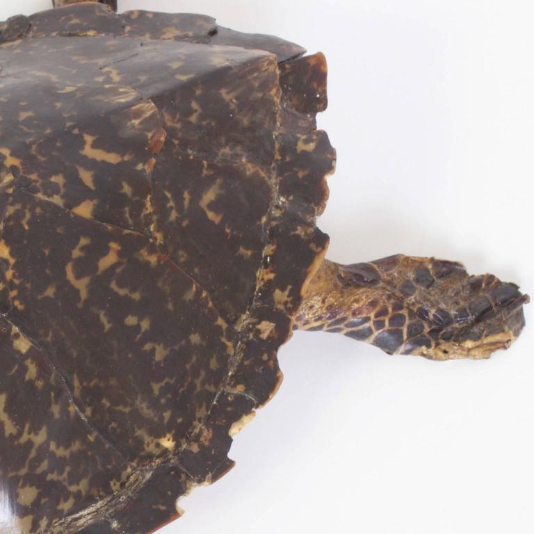 Large Hawksbill Turtle Taxidermy For Sale 3