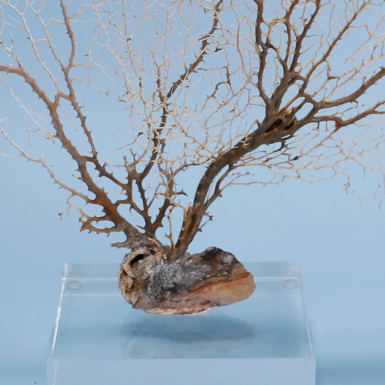 Contemporary Off-White Sea Fan Mounted on Lucite For Sale