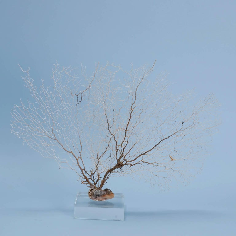 Organic Modern Off-White Sea Fan Mounted on Lucite For Sale