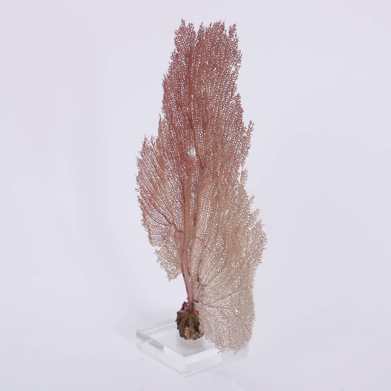 Authentic pink Bahama sea fan with its soft hues and glorious organic form. Presented on a lucite base.