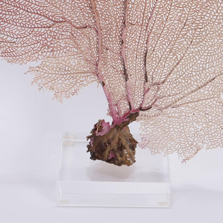 Bahama Sea Fan on Lucite In Excellent Condition For Sale In Palm Beach, FL