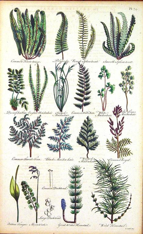 Jacobean John Parkinson 17th Century Botanical Engravings of Mosses and Ferns For Sale