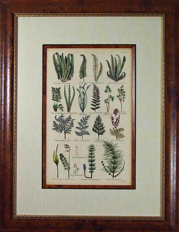 John Parkinson 17th Century Botanical Engravings of Mosses and Ferns In Good Condition For Sale In Downingtown, PA