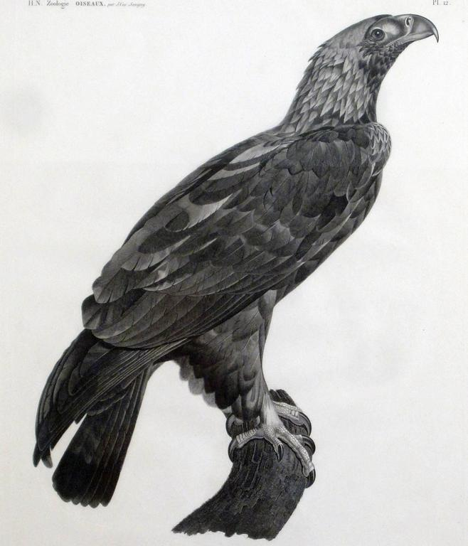 French Large Engraving of an Eagle by Savigny In Good Condition For Sale In Downingtown, PA