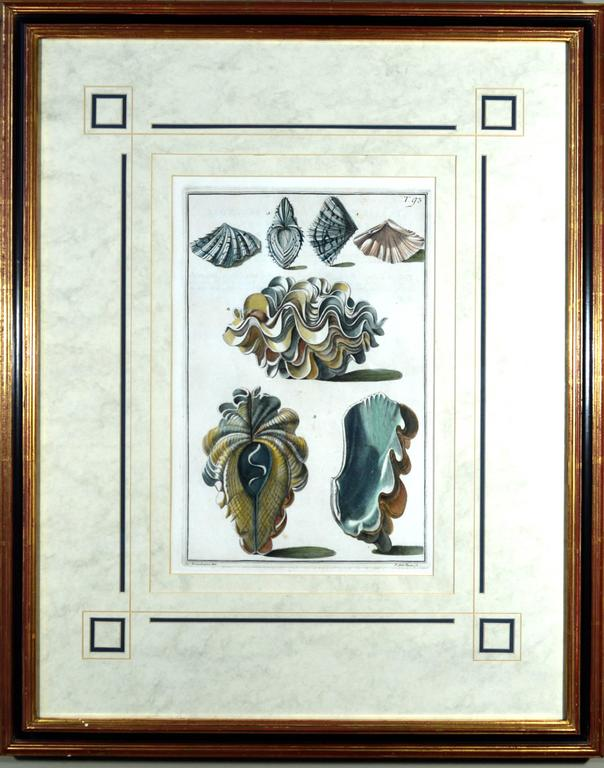 Sea shell pair of engravings, from Index Testarum Conchyliorum by Niccolo Gualtieri, Engraved by Antonio Pazzi & Giuseppe Menabuoni, 1742.  Pair of framed hand colored sea shell prints from Index Testarum Conchyliorum by Niccolo Gualtieri,