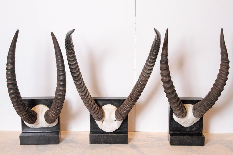 Vintage African Sable Antelope Horns African Sable Antelopes Horns On distressed ebonized limestone base