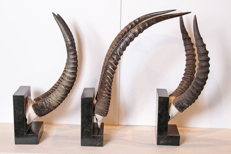 20th Century Vintage African Sable Antelope Horns For Sale