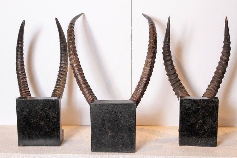 Limestone Vintage African Sable Antelope Horns For Sale