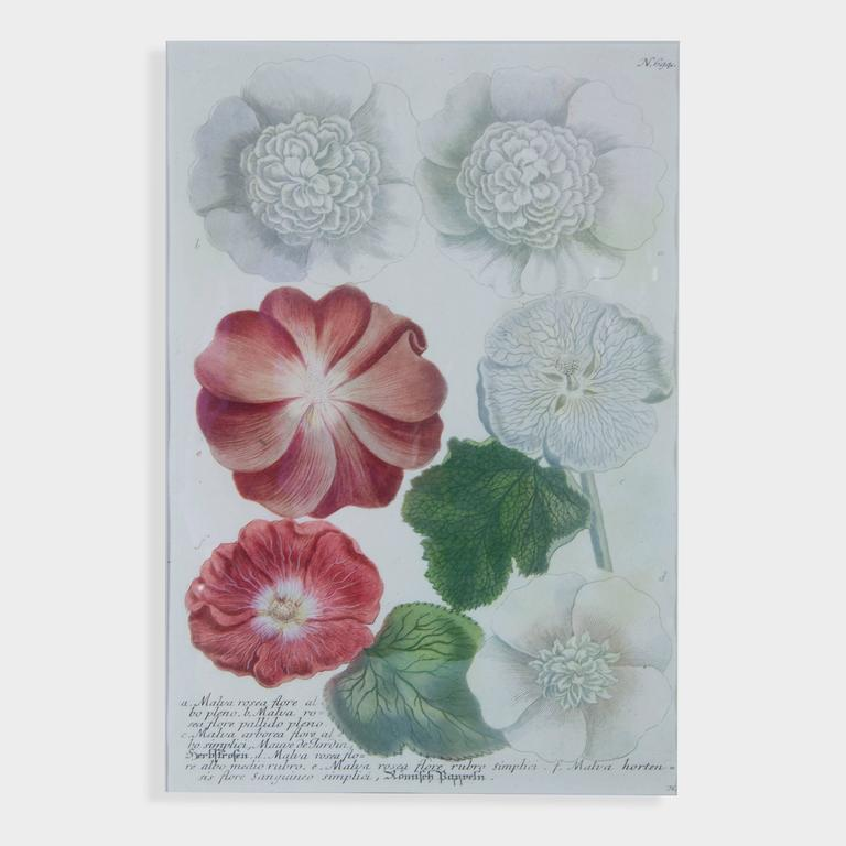 Hand-colored botanical print, a) Malva Rosea Semiplena b) Malva Rosea Flore Rubro Pleno Rose De Tramee c) Malva Rosea Flore Nigricante D) Malva Rosea Flore Phureo Pleno E) Malva Rosea Flore Luteo Pleno, giving you clues about what to look for in the