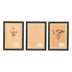 Set of Three Swedish Mid-Century Herbariums Botanicals in Dark Bamboo Frames