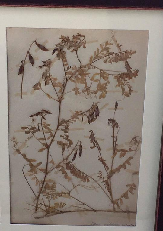 Swedish Herbal Pressed Botanical Framed under Glass, circa 1940 4