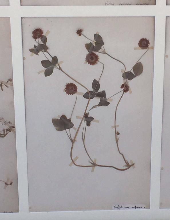 Swedish Herbal Pressed Botanical Framed under Glass, circa 1940 6