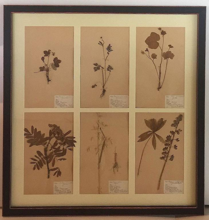 Swedish Herbal Pressed Botanical Framed under Glass, circa 1940 8