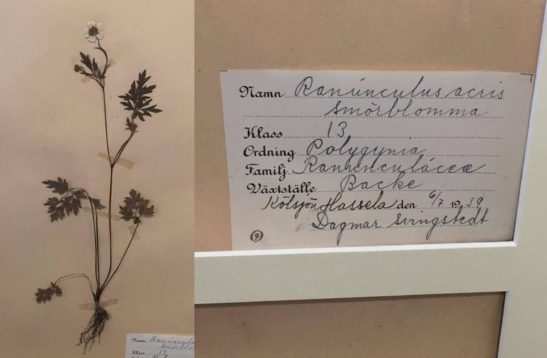 Swedish Herbal Pressed Botanical Framed under Glass, circa 1940 3