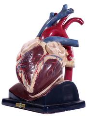 Oversized Break Away Anatomical Model of the Heart by Trutox