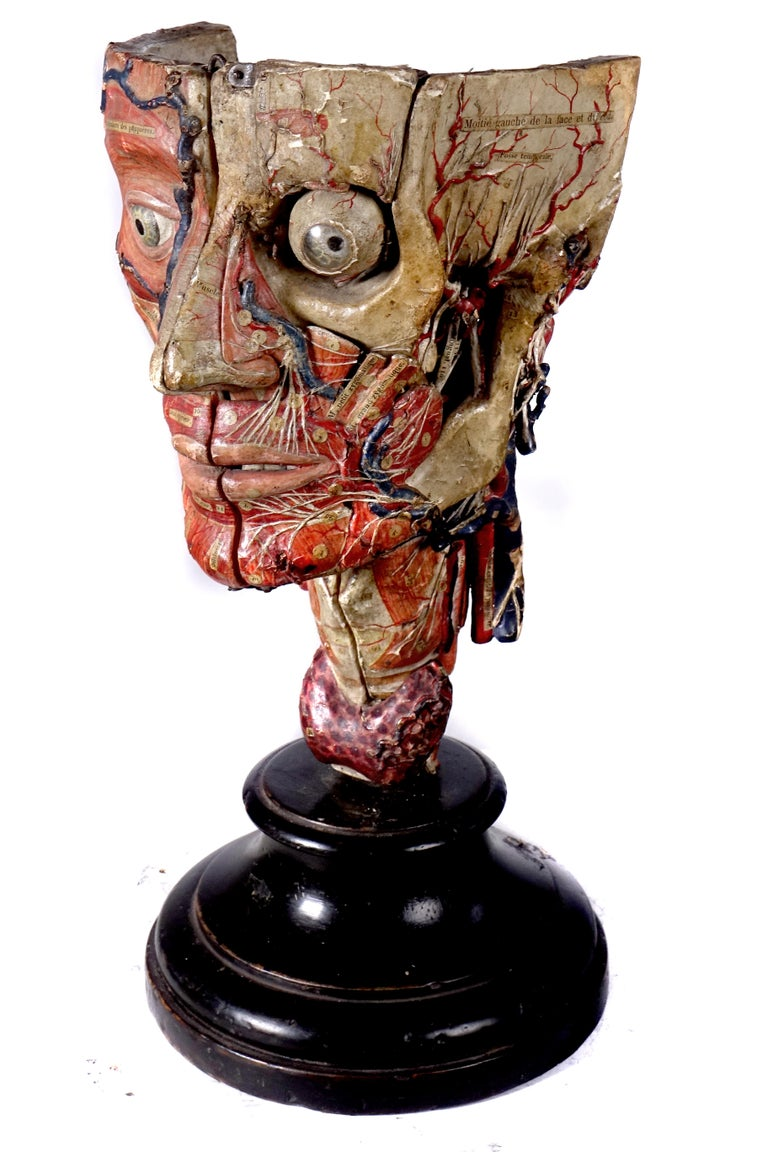 This fantastically detailed papier mâché model of the head dates to the mid-19th century. It was made by Dr. Auzoux and listed in his catalogue. The attention to detail is breathtaking. The structures are numbered and these pictures only scratch the