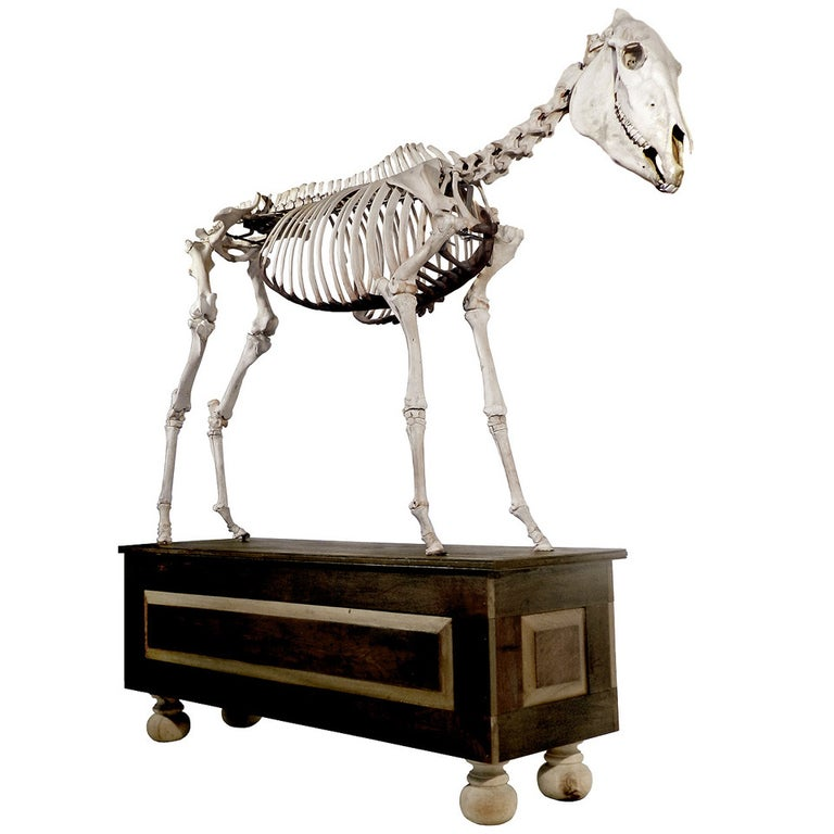 Museum Quality Real Full Skeletal Horse Display For Sale