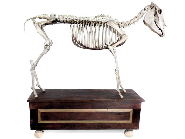 Other Museum Quality Real Full Skeletal Horse Display For Sale