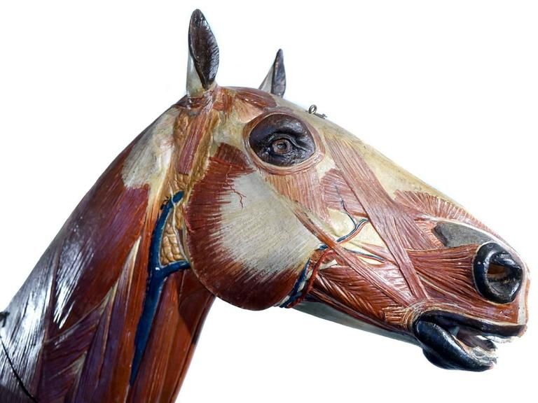 This is an important handmade large scale papier mâché anatomical model of a horse. It's close to two thirds scale and over four foot long. At the turn of the century France and Berlin were known for their elaborate teaching models. We just returned