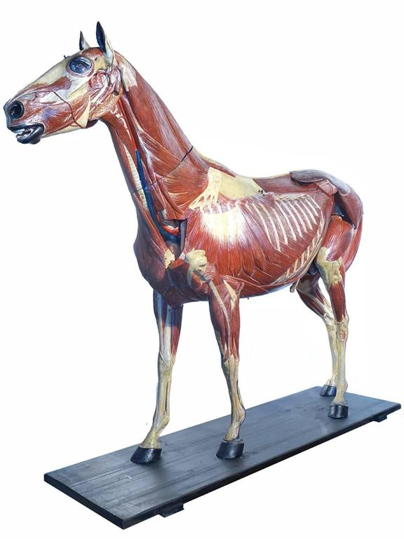 Industrial Rare German 1800s Anatomical Horse Model, Signed A.M.Sommer For Sale