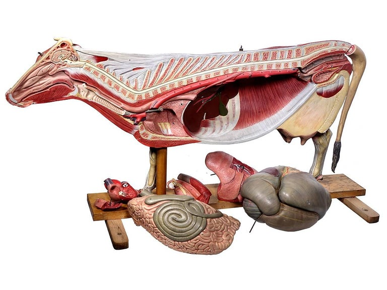 Anatomical Model of Cow, Germany For Sale 1