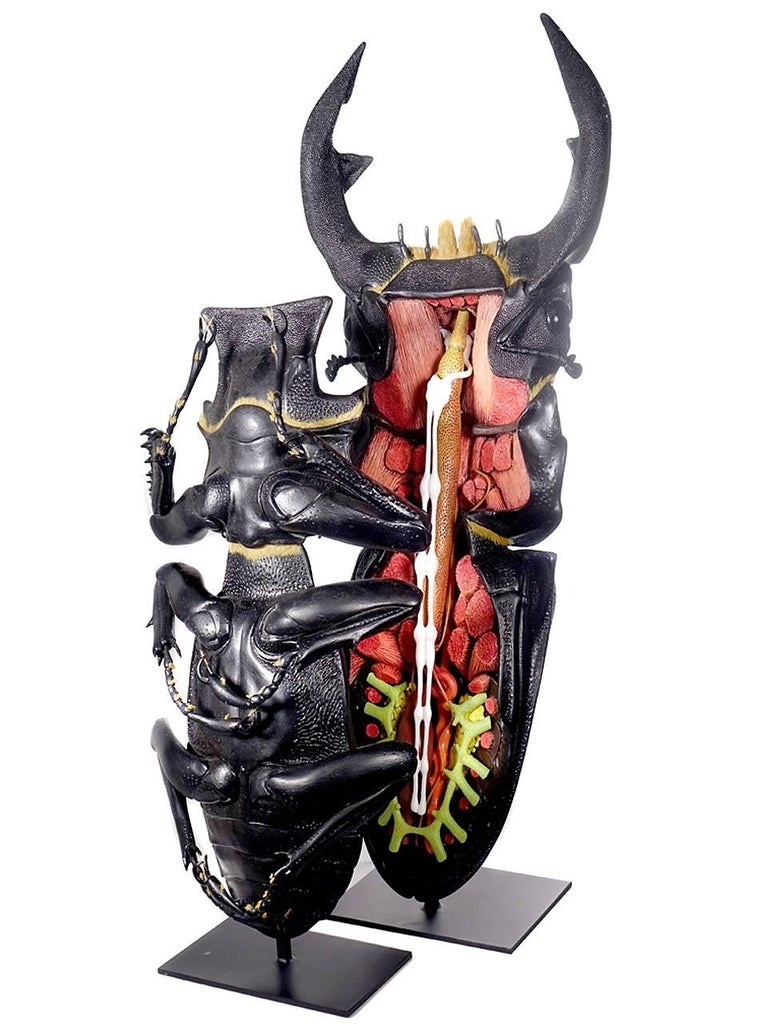 Huge Museum Model of a Asian Stag Beetle 2