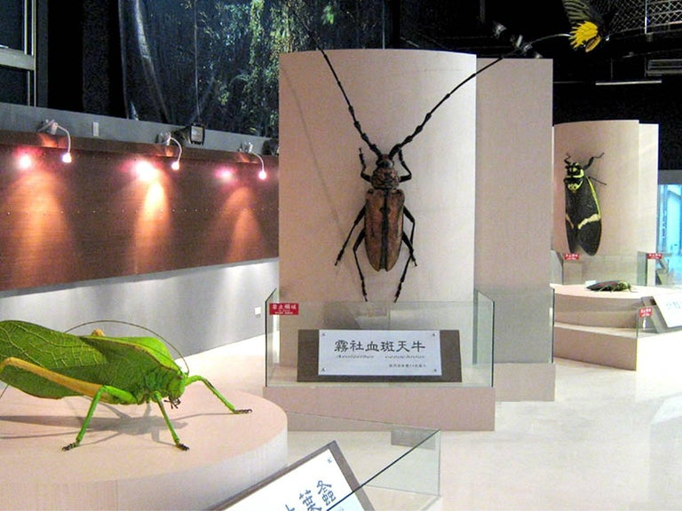 Huge Museum Model of a Asian Stag Beetle 8