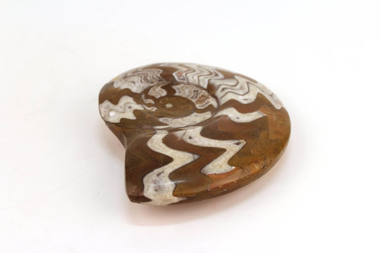 Fossilized Ammonite Cephalopod Shell In Good Condition For Sale In New York, NY