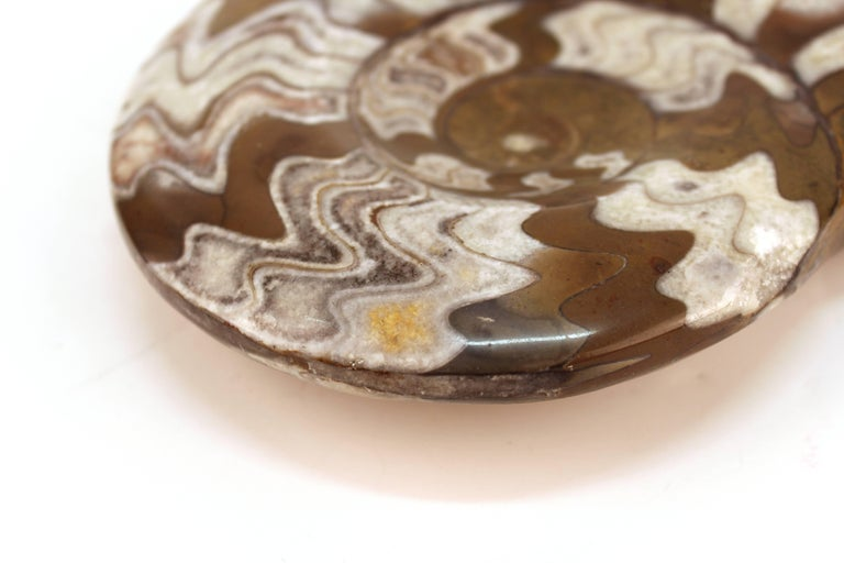Fossilized Ammonite Cephalopod Shell For Sale 3