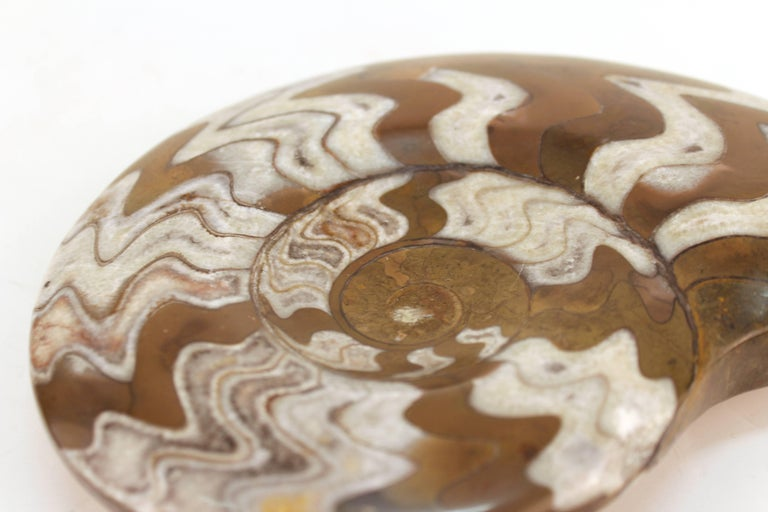 Fossilized Ammonite Cephalopod Shell For Sale 2