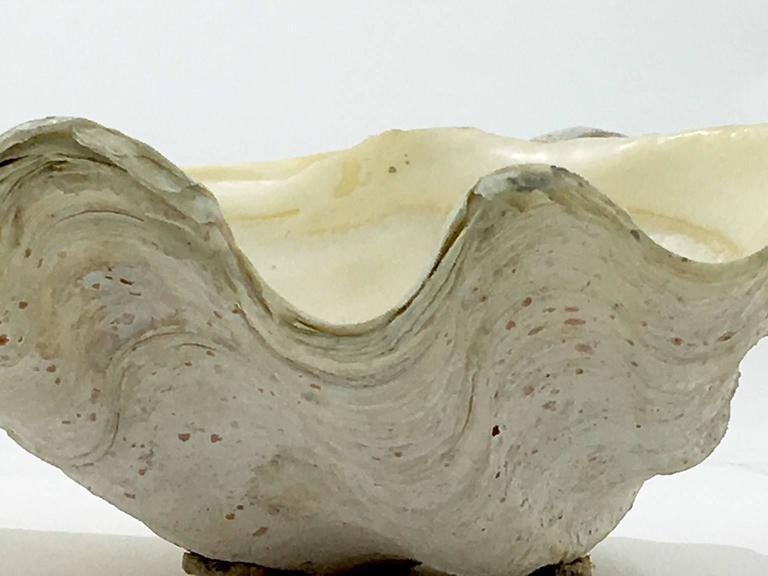 Beautiful natural patina clam shell, vide poche, bowl.