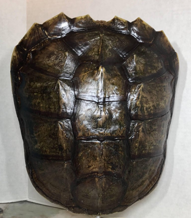 Decorative fresh water turtle shell professionally mounted on onyx base, the shell is cleaned and seal with clear protective satin finish.
