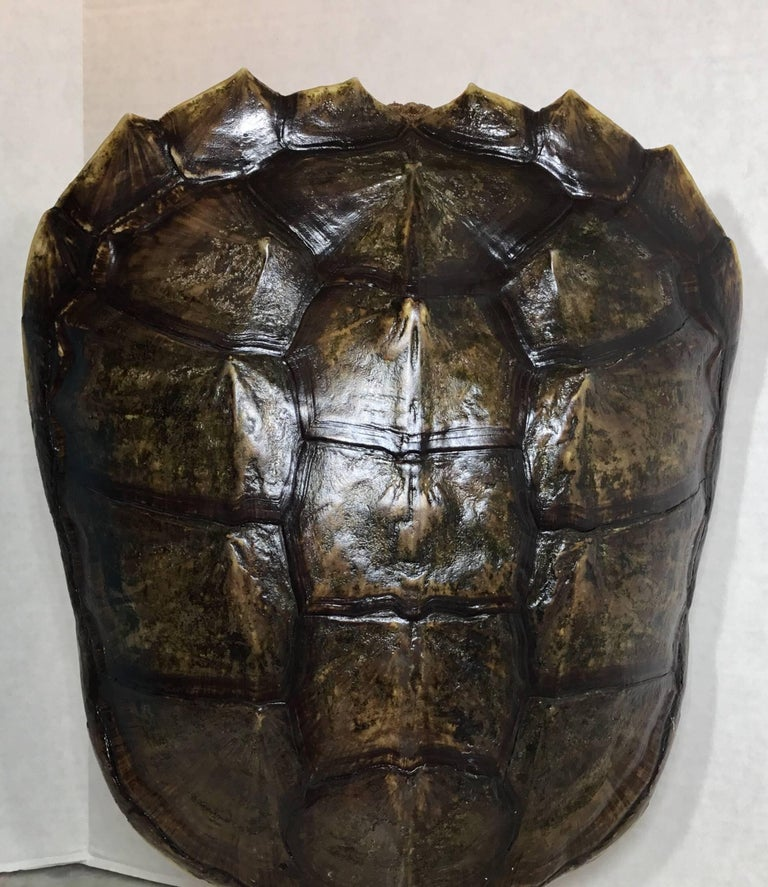 Genuine American Fresh Water Snapping Turtle Shell In Excellent Condition For Sale In Delray Beach, FL
