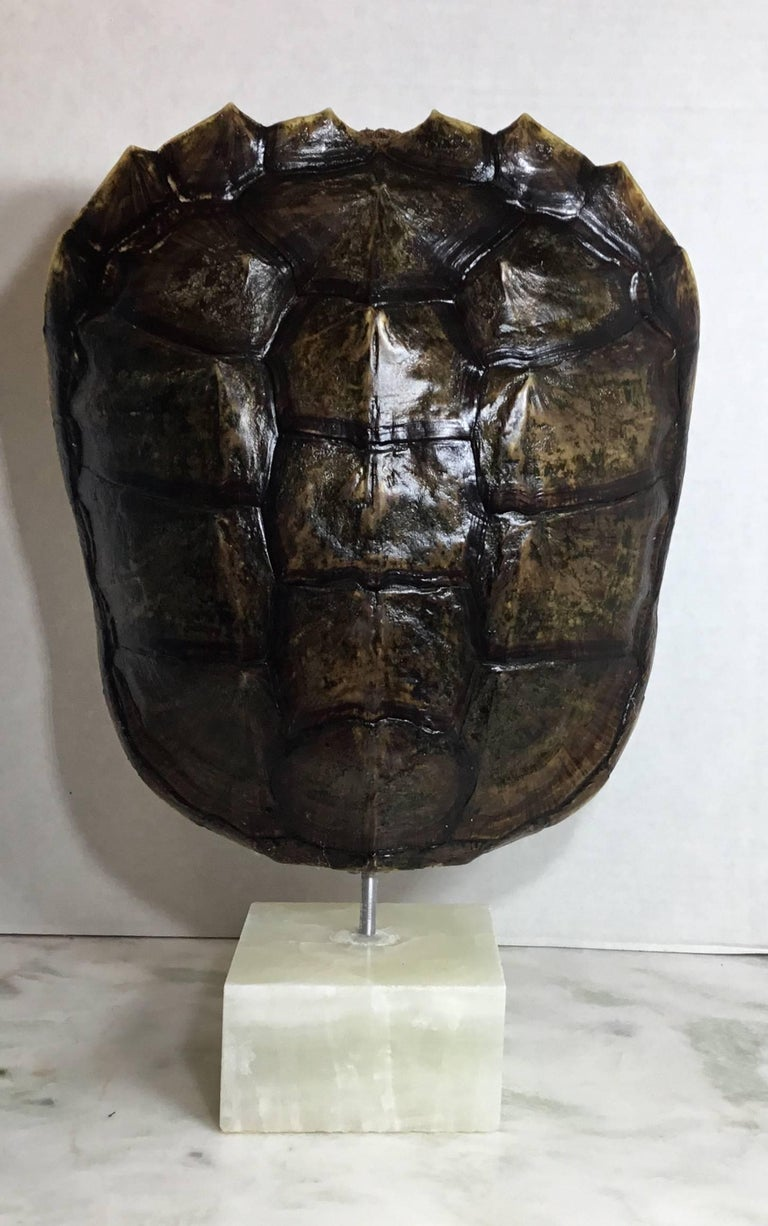 20th Century Genuine American Fresh Water Snapping Turtle Shell For Sale